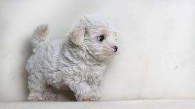 Maltês do cachorrinho do cão isolado olhando algo - espaço do texto à direita imagens de stock royalty free