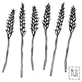Malt Doodle Sketsh. Ears of Barley. Beer Bar Vector Illustration. Royalty Free Stock Photography