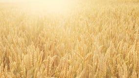 Malt för korn för fält för hantverkölproduktion guld- lager videofilmer