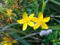 Malt gräs för två perforerar gult blommaknoppar St John `-s-wort Hyp royaltyfri foto