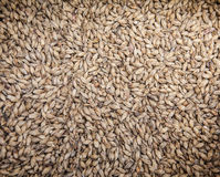 Malt grains. Beer production. Malt grains background. Ingredient for beer production Royalty Free Stock Photography
