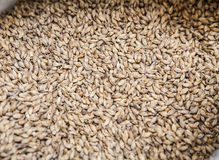 Malt grains. Beer production. Malt grains background. Ingredient for beer production Stock Photography