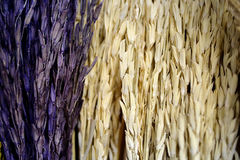 Malt grains. Close up malt grain background Stock Photo