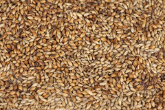 Malt grains closeup. Close photo up of malt grains Royalty Free Stock Photography