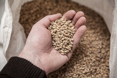 Malt grains in hand. Malt grains in man`s hand. Beer production Stock Images