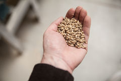 Malt grains in hand. Malt grains in man`s hand. Beer production Stock Image