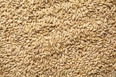 Malt grains Stock Image