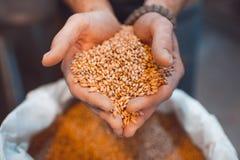 Malt i händerna av bryggarenärbilden Rymmer korn i vännen royaltyfria bilder