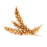 Malt. Isolated on a white background. Watercolor illustration. Stock Image