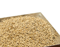 Malt, macro. Background texture of brewers two row malt grains Stock Photography