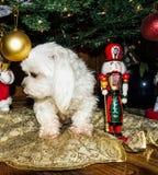 Maltański bielu pies pod choinką zdjęcie royalty free