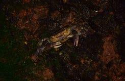 Maltański słodkowodny krab, Potamon fluviatile, błotnisty nory gniazdeczko obraz stock