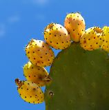 One  cactus leaf with yellow cactus fruits on blue clear sky background Stock Image