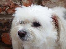 Maltański crossbreed pies Zdjęcia Royalty Free