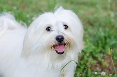 Maltański pies Zdjęcia Stock