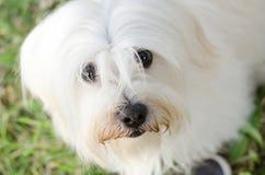Maltański pies Zdjęcie Royalty Free