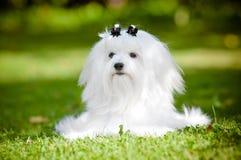 Maltański pies outdoors Zdjęcia Stock