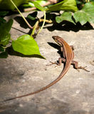 Malta Wall Lizard Stock Photo