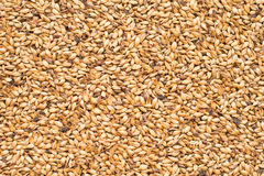 Malted Barley. For the use of brewing beer Royalty Free Stock Image