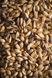 Malted Barley. For the use of brewing beer Stock Images