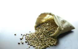 Malted barley grain. Malted cereal barley germinated grain for beer production Stock Photography