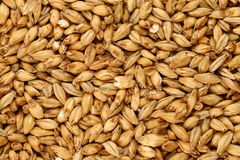 Malted Barley. Is used in beer making as base malt to provide the bulk of the starches and sugars for fermentation.  Malted grains are also used in many baked Stock Photos