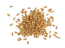 Malted Barley on White Background. Malted barley photographed on a white background.  Malted barley is used in beer making as base malt to provide the bulk of Royalty Free Stock Photos