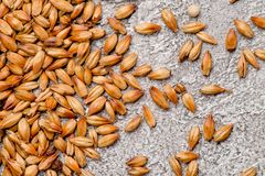 Malted grain closeup. Mixed varieties of malted grain on a gray background. close-up. top view. Flat lay. series of photos. space royalty free stock images