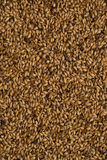 Malted grains. Malted barley for the use of brewing beer Royalty Free Stock Photos