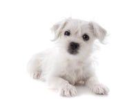 Maltees Westie-puppy royalty-vrije stock fotografie