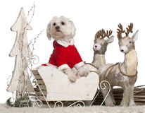 Maltese, 1 year old, in Christmas sleigh. In front of white background Stock Photos