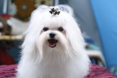Maltese. The Maltese breed is descended from dogs originating in the Cenral Mediterranean Area stock image