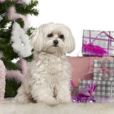 Maltese, 2 years old, with Christmas tree. And gifts in front of white background Royalty Free Stock Images