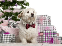 Maltese, 2 years old, sitting with Christmas. Tree and gifts in front of white background Stock Image
