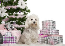 Maltese, 2 years old, sitting with Christmas. View of Maltese, 2 years old, sitting with Christmas tree and gifts in front of white background Stock Image