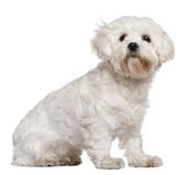 Maltese, 3 years old, sitting. In front of white background Royalty Free Stock Image