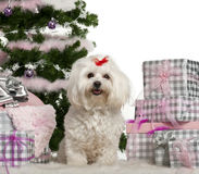 Maltese, 3 years old, sitting with Christmas. Tree and gifts in front of white background Royalty Free Stock Image