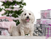Maltese, 3 years old, sitting with Christmas. Tree and gifts in front of white background Stock Image
