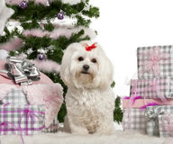Free Maltese, 3 Years Old, Sitting With Christmas Stock Image - 22629631