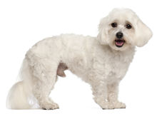 Maltese, 3 years old, standing. In front of white background Royalty Free Stock Photo