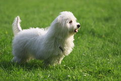 Maltese. A sunny afternoon, with my dog in the park Royalty Free Stock Photo