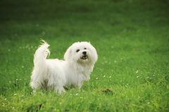 Maltese. A sunny afternoon, with my dog in the park Stock Photo