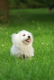 Maltese. A sunny afternoon, with my dog in the park Stock Images