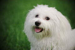 Maltese. A sunny afternoon, with my dog in the park Royalty Free Stock Image