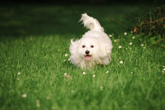 Maltese. A sunny afternoon, with my dog in the park Stock Photos