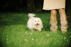 Maltese. A sunny afternoon, with my dog in the park Stock Photography