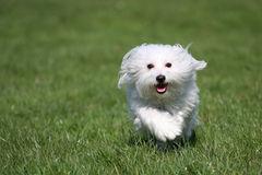 Maltese. A sunny afternoon, with my dog in the park Stock Image