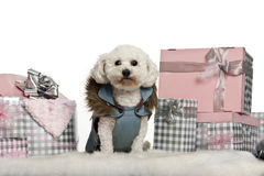 Maltese, 5 years old, sitting with Christmas. Gifts in front of white background Royalty Free Stock Photography