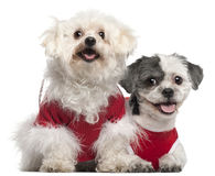 Maltese, 6 years old, and Shih Tzu, 5 years old. Dressed in red and sitting in front of white background Royalty Free Stock Image