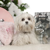 Maltese, 7 months old, with Christmas tree. And gifts in front of white background Stock Photography